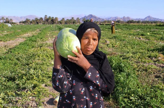 آغاز برداشت فاجعهی پاییزه از مزارع هرمزگان