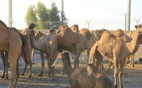 کشف ۳۰ نفر شتر قاچاق در جاسک