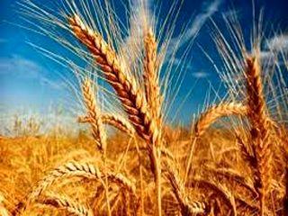 خرید تضمینی گندم از کشاورزان هرمزگانی