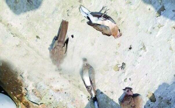 نیوکاسل دلیل احتمالی مرگ پرندگان در جاسک