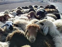 تشدید طرح مبارزه با قاچاق دام در شهرستان حاجی آباد