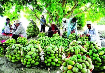 تأثیـر خشـکسالی بر میـزان تولید شاهمیوه میناب / گره خوردن اقتصاد یک هزار و ۱۰۰ خانواده مینابی به انبه